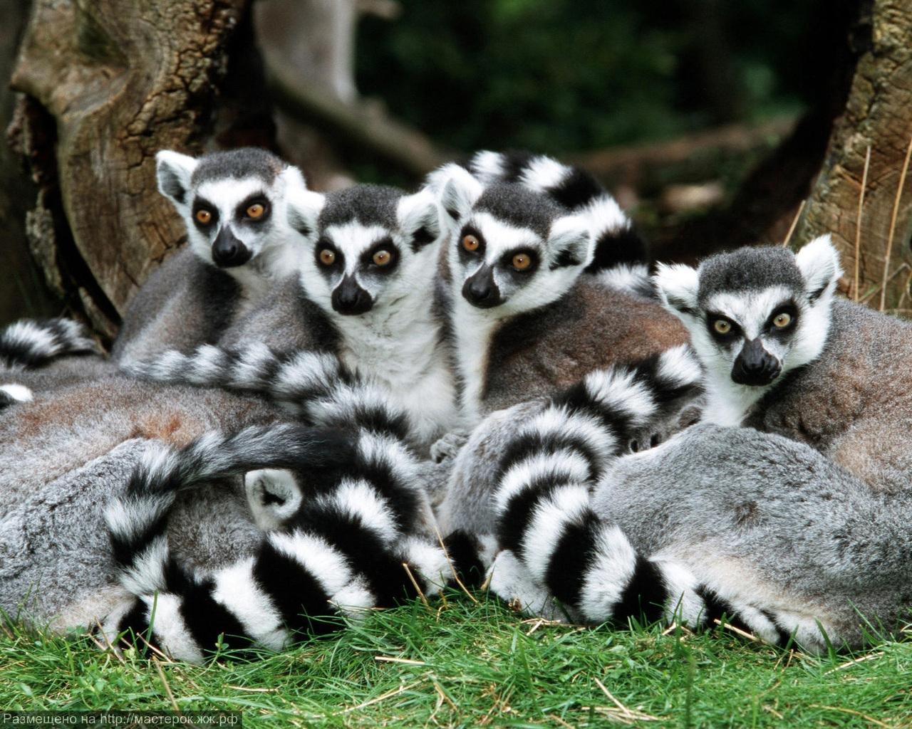 Katta - Gruppe<br />lemur katta<br />ring-tailed lemur