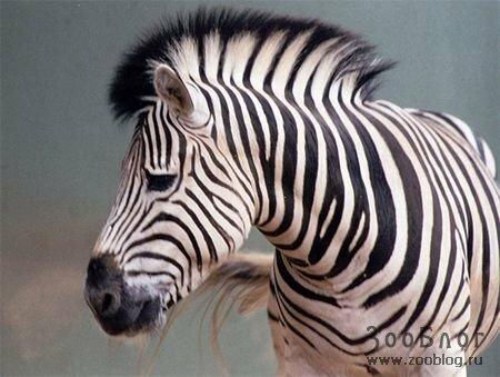 Включают в себя следующие виды. зебра пустынная. зебра равнинная.  Также в природе существуют смешанные...