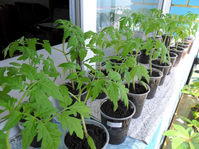 выбор рассады томатов