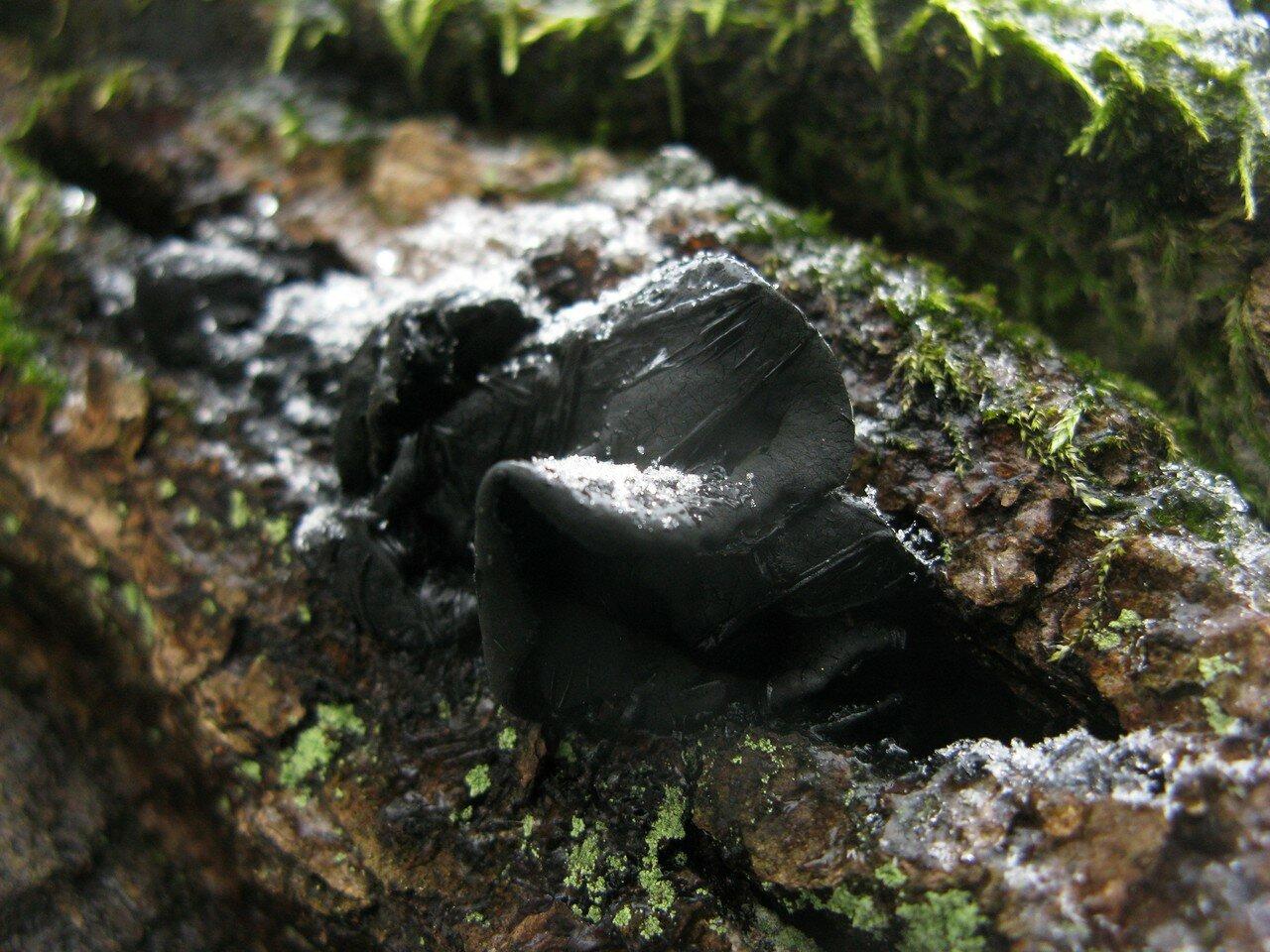 Булгария пачкающая (Bulgaria inquinans) Автор фото: Станислав Кривошеев