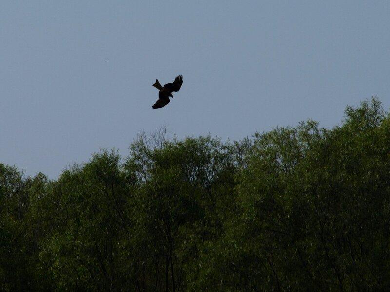 Коршун (Milvus migrans) на охоте на Вятке