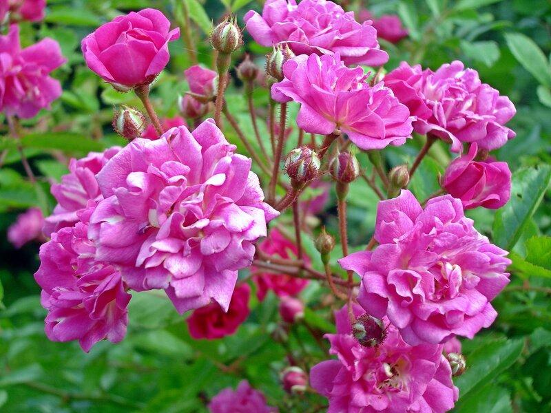 Лето,с.Остров,розовые кусты райского садика