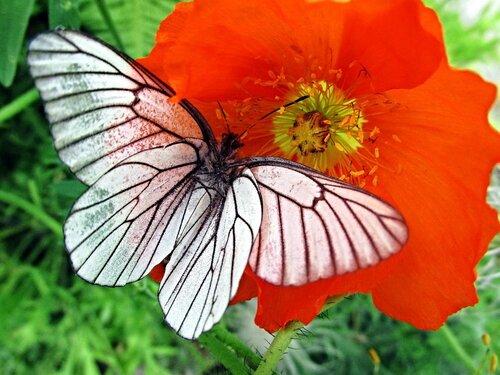 Бабочка на маке