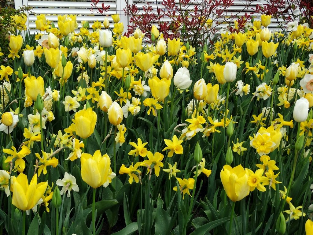 Tulips_Daffodils_Many_459786.jpg