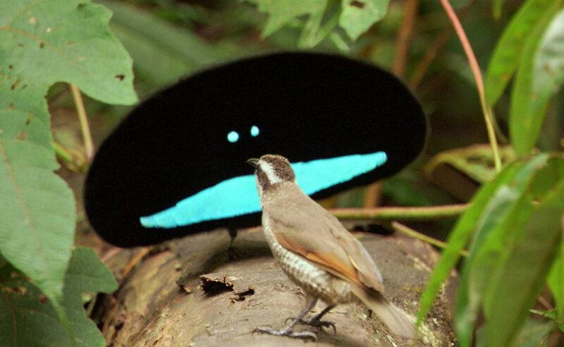 Чудная райская птица