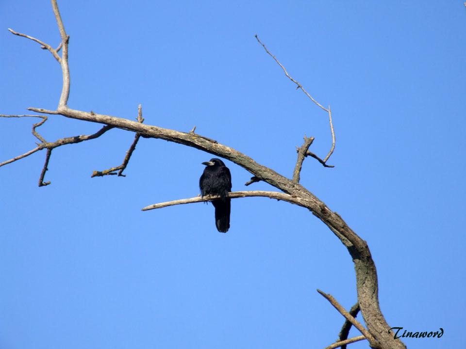 ворона-3.jpg