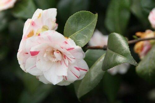 Камелия японская махровая (садовая форма)