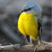 Желтая птица