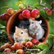 Крысы поедают урожай