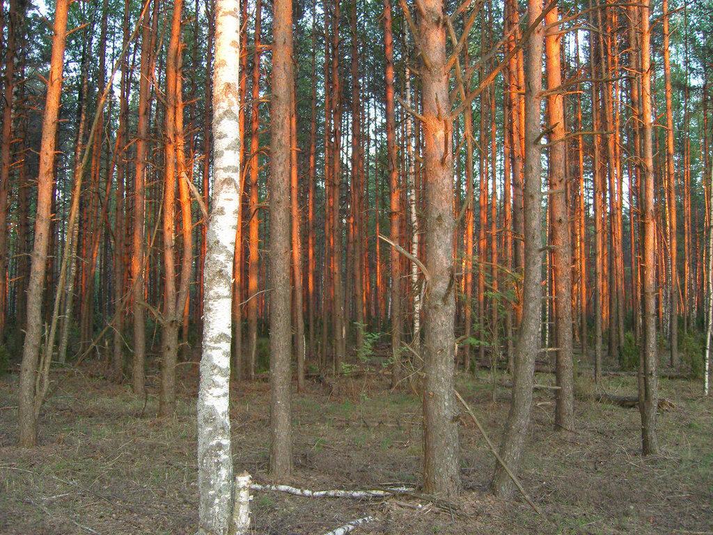 золотой лес