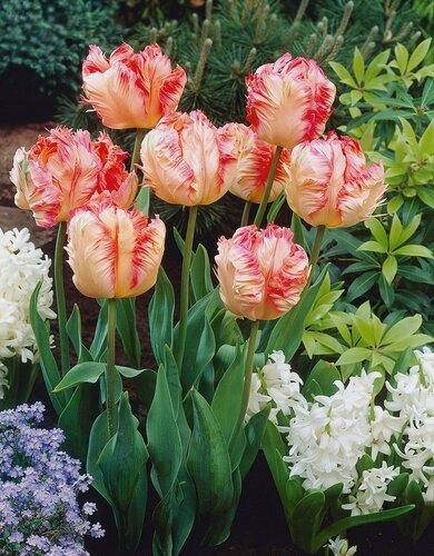 Весенние цветы-тюльпаны, подснежники и прочие... 0_14b611_47e083e1_L