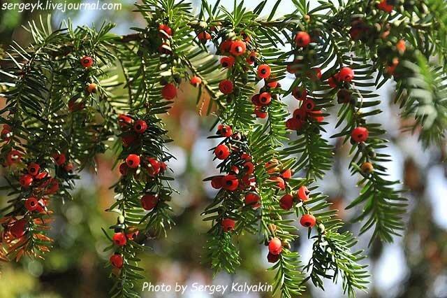 Taxus baccata Dovastoniana (9).JPG