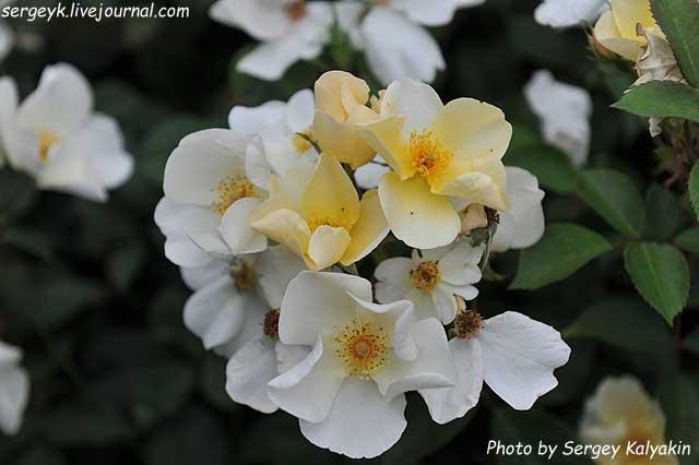 Rosa Kew Gardens (68).JPG