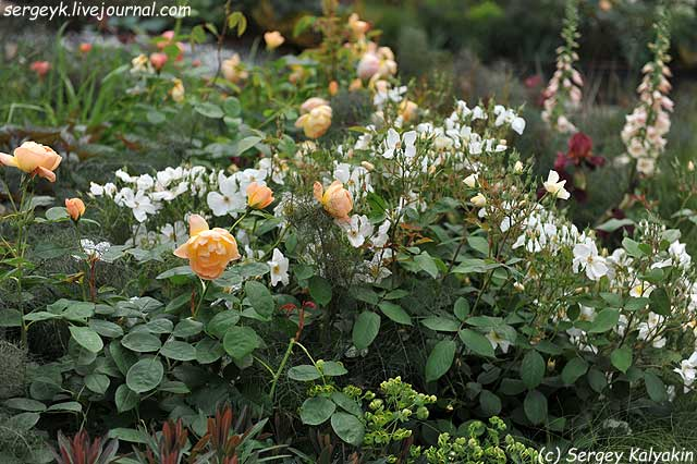 Rosa Kew Gardens (75).JPG