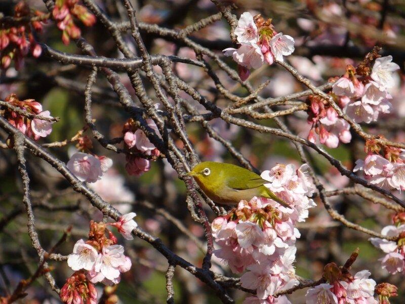 В Токио наступает время цветения японского абрикоса (сливы - умэ)...