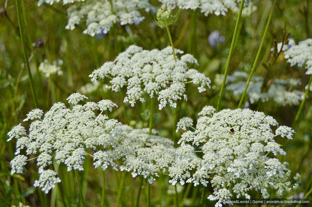 Луговые цветы