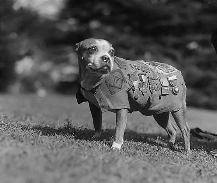 Сержант Стабби — героический пес Первой мировой войны (15 фото)