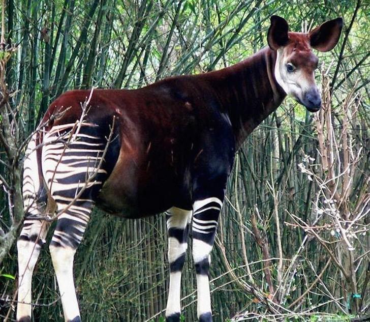 Это животное также известно как зебра-жираф. Окапи обрели славу в 1800-х годах, после обнаружени