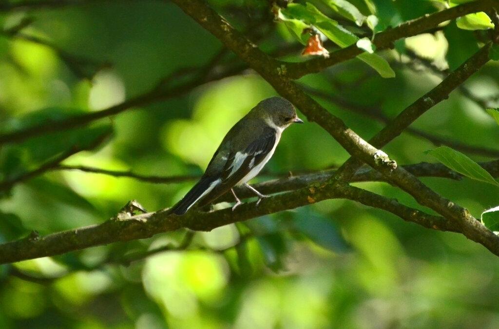 Самочка мухоловки-белошейки