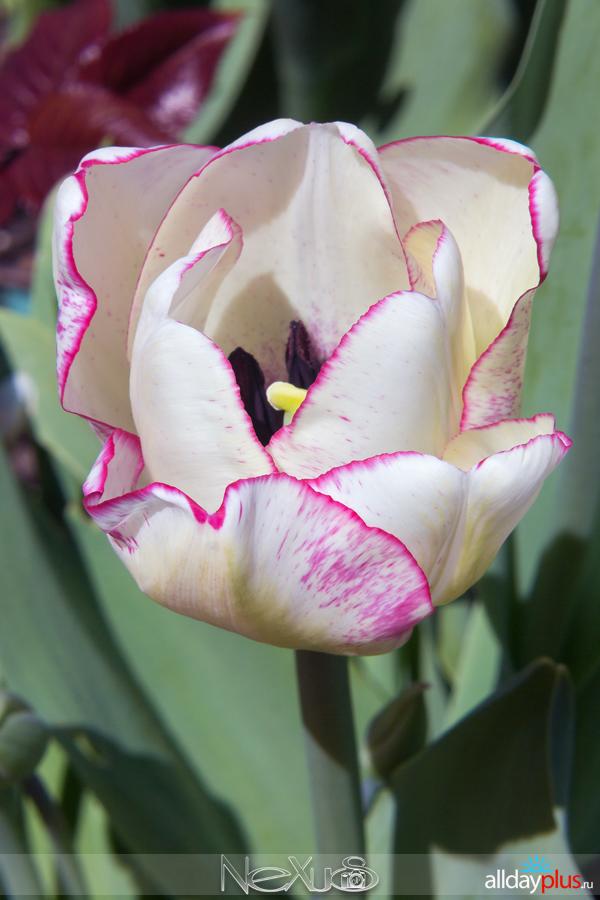 Я люблю все цветы, выпуск 204 | C Днём Рождения, Наташа ! | Тюльпан «Triumph».