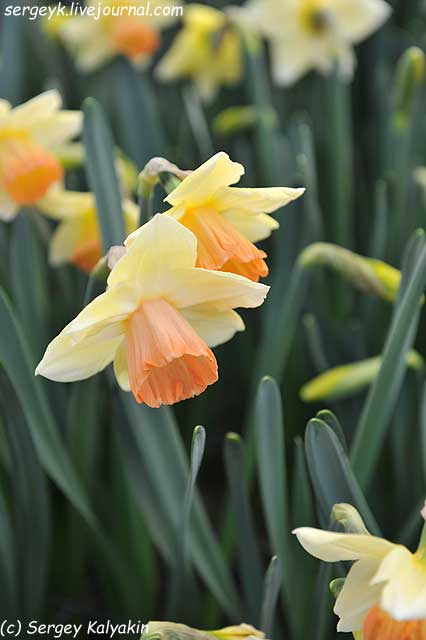 Narcissus Tickled Pinkeen (1).JPG
