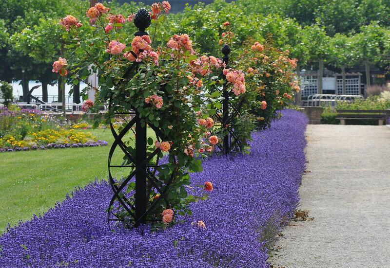 Оформление плетистых роз на участке фото