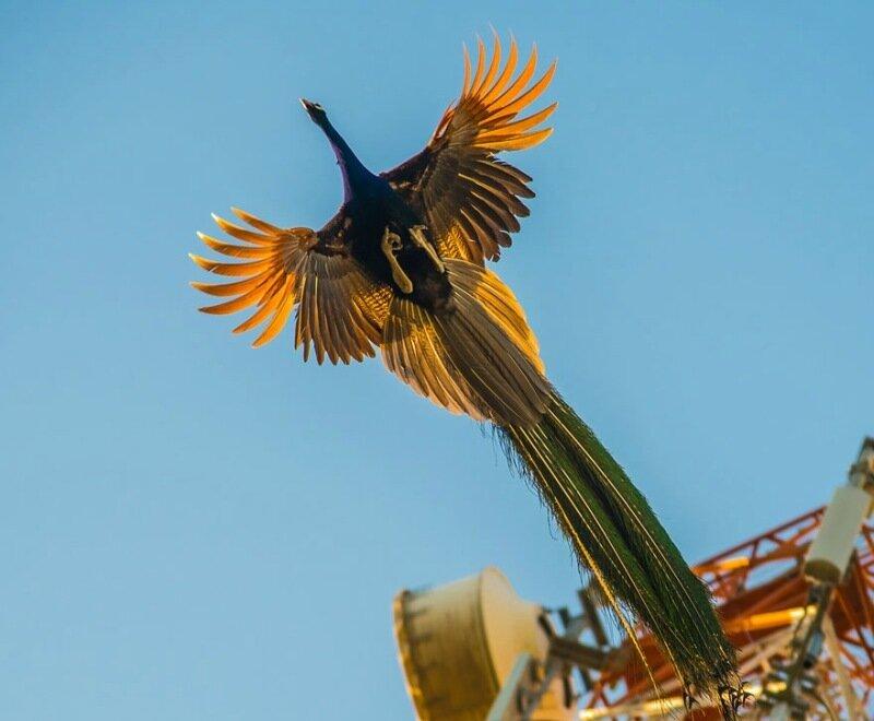 Фотографии летающих павлинов