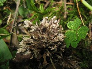 Телефора цветочноголовая (Thelephora cf anthocephala)