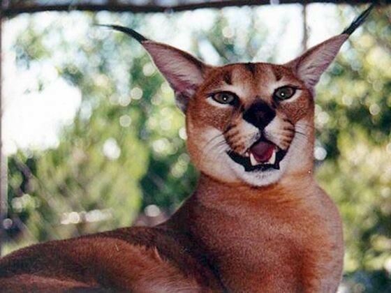 Каракал – дикая кошка, напоминающая рысь