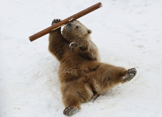 Pamir, a nine-year-old Tien Shan White Claw bear, plays with a log in its enclosure as he wakes up a
