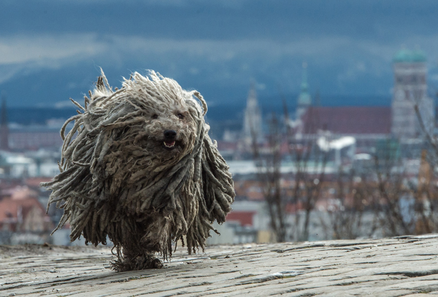 Seven-year-old Hungarian herding dog Derci runs on Olympiaberg Hill in Munich, Germany, on January 4