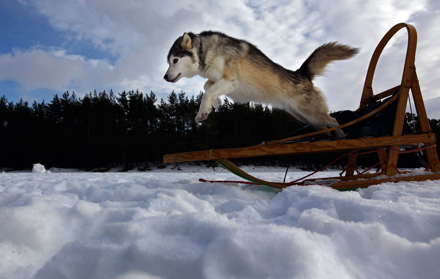 Competitors and teams prepare for the 27th annual Aviemore Husky Sled Dog Rally on January 21, 2010.