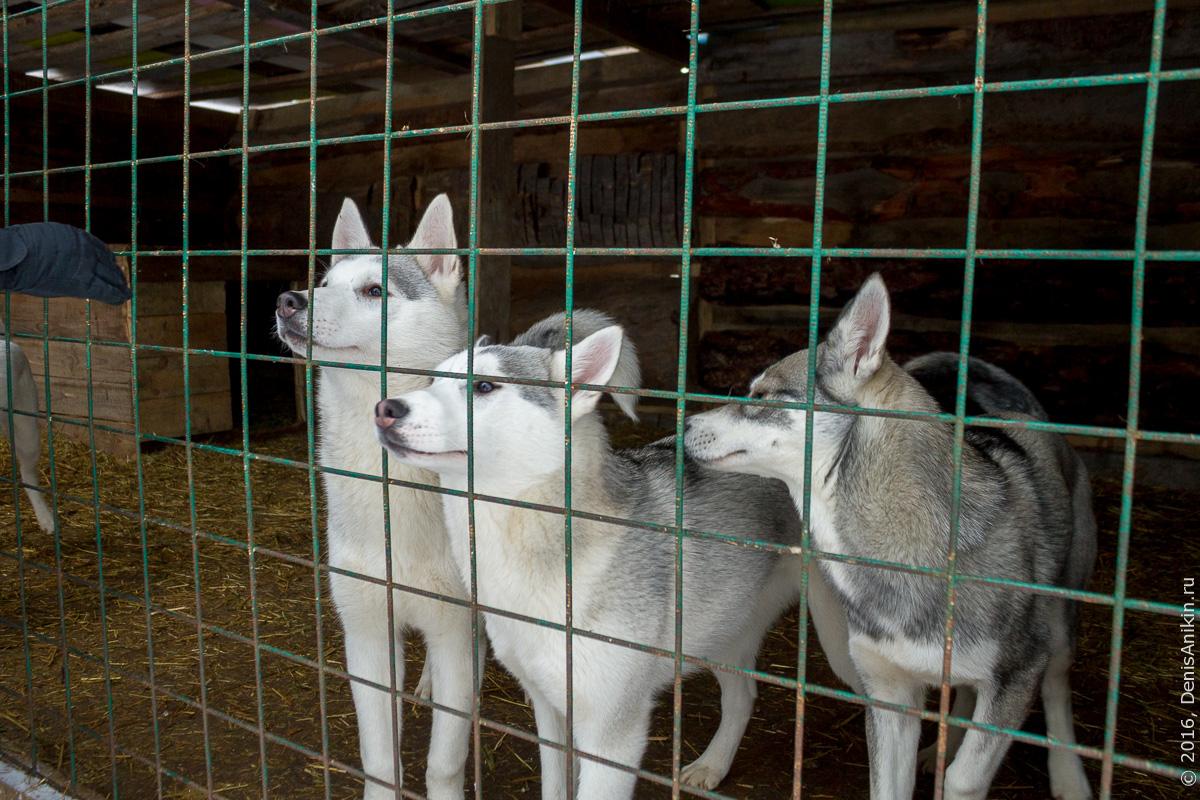 Питомник сибирских хаски DogWinter 6