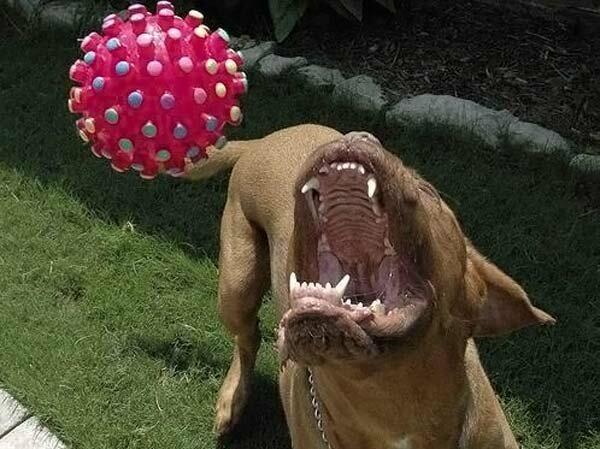 Очень добрая собака ... Пока не увидит мячик...