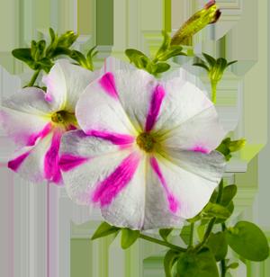 Цветы петунии картинки 6