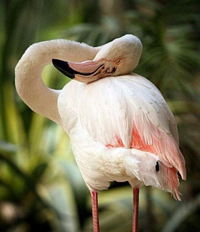 6. До недавнего времени в зоопарке Аделаиды жил 83-летний фламинго по имени Greater. Птица прибыла в