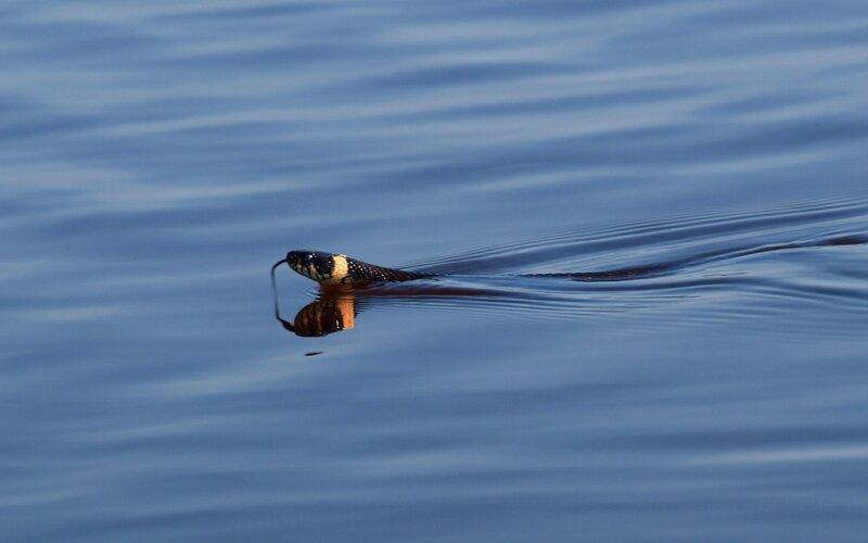 Уж (Natrix natrix) плывёт по реке