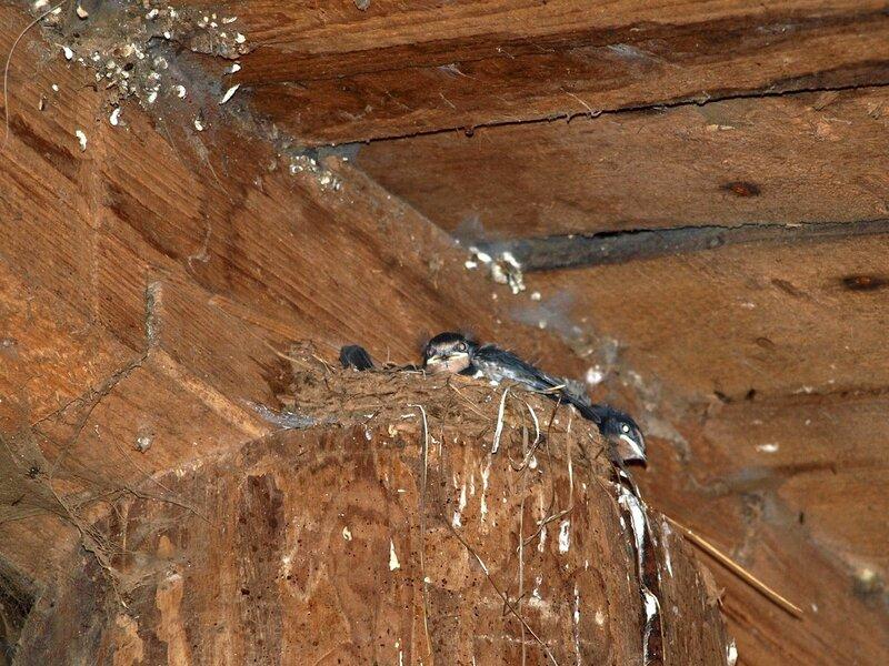 Гнездо ласточки деревенской под крышей конюшни в Учхозе