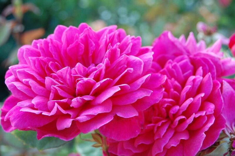 Sophy's Rose