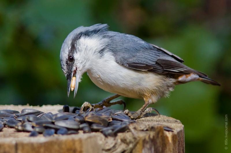 Птицы Челябинской области, Обыкновенный поползень