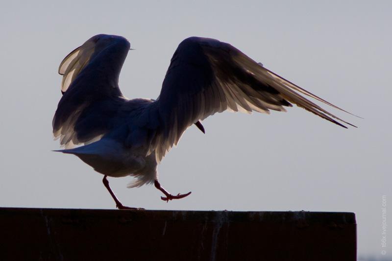 Птицы Челябинской области, чайка