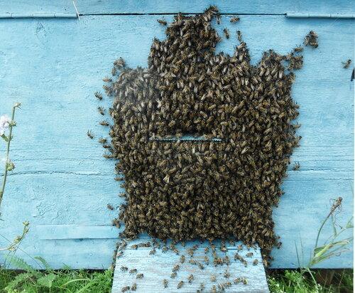На пасеке, пчёлы... Лето 2012