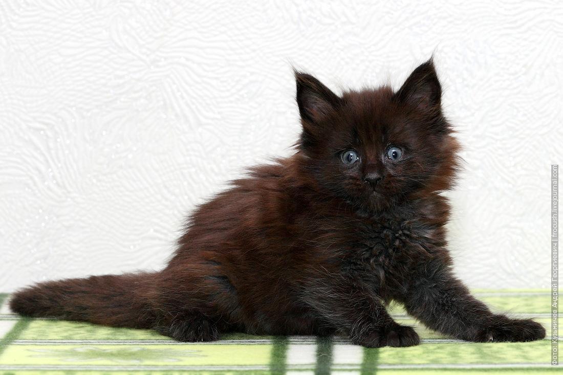 питомник в Москве купить котенок Мейн-кун