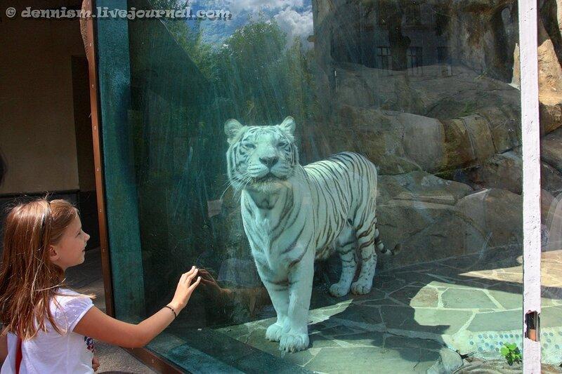 Белый бенгальский тигр. Московский зоопарк.