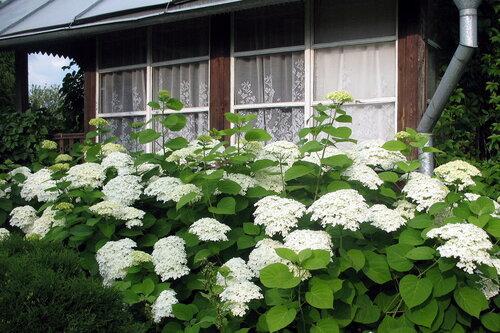 Садовая гортензия не цветет что делать