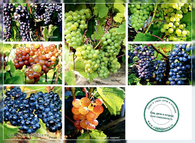 морозоустойчивые сорта винограда для севера, подмосковья и центральной России