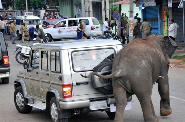 Кто сильнее, слон или автомобиль прикольные фото