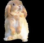 NLD Addon Rabbit sh.png