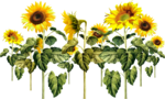 AD_Sunflower_summer_el (40).png
