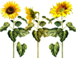 AD_Sunflower_summer_el (41).png